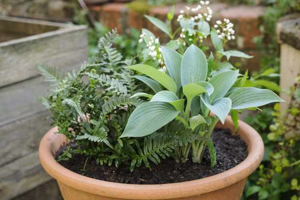 Hosta and fern pot display