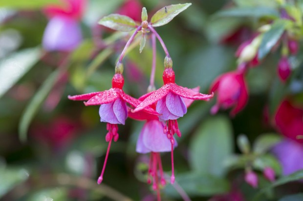 Pink and mauve fuchsia flowers