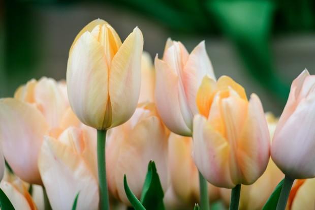 Pale orange blooms of tulip 'Apricot Beauty'