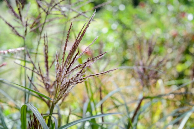 Brown flower-spikes of a tall ornamental grass