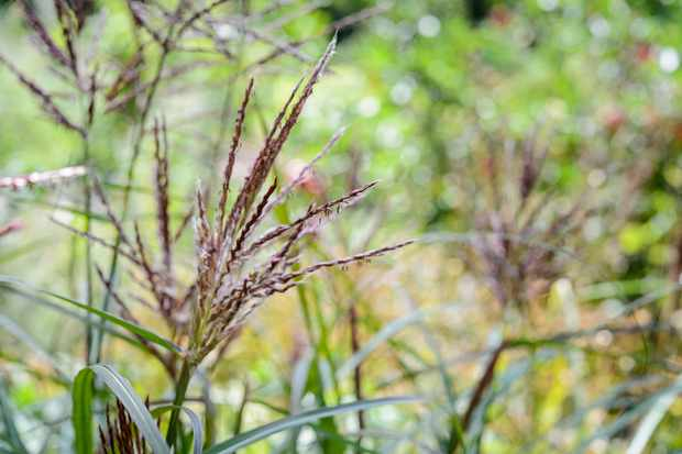 ornamental-grass-3