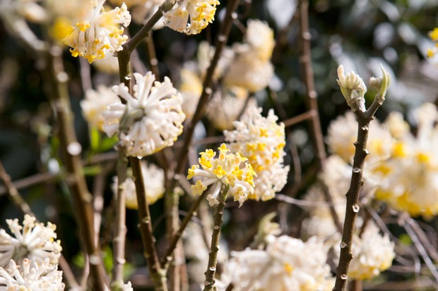 Yellow and white, pompom blooms of the paper bush