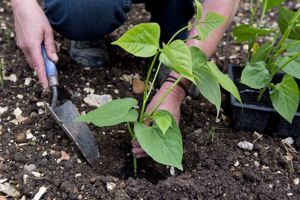 Planting out young runner bean plants