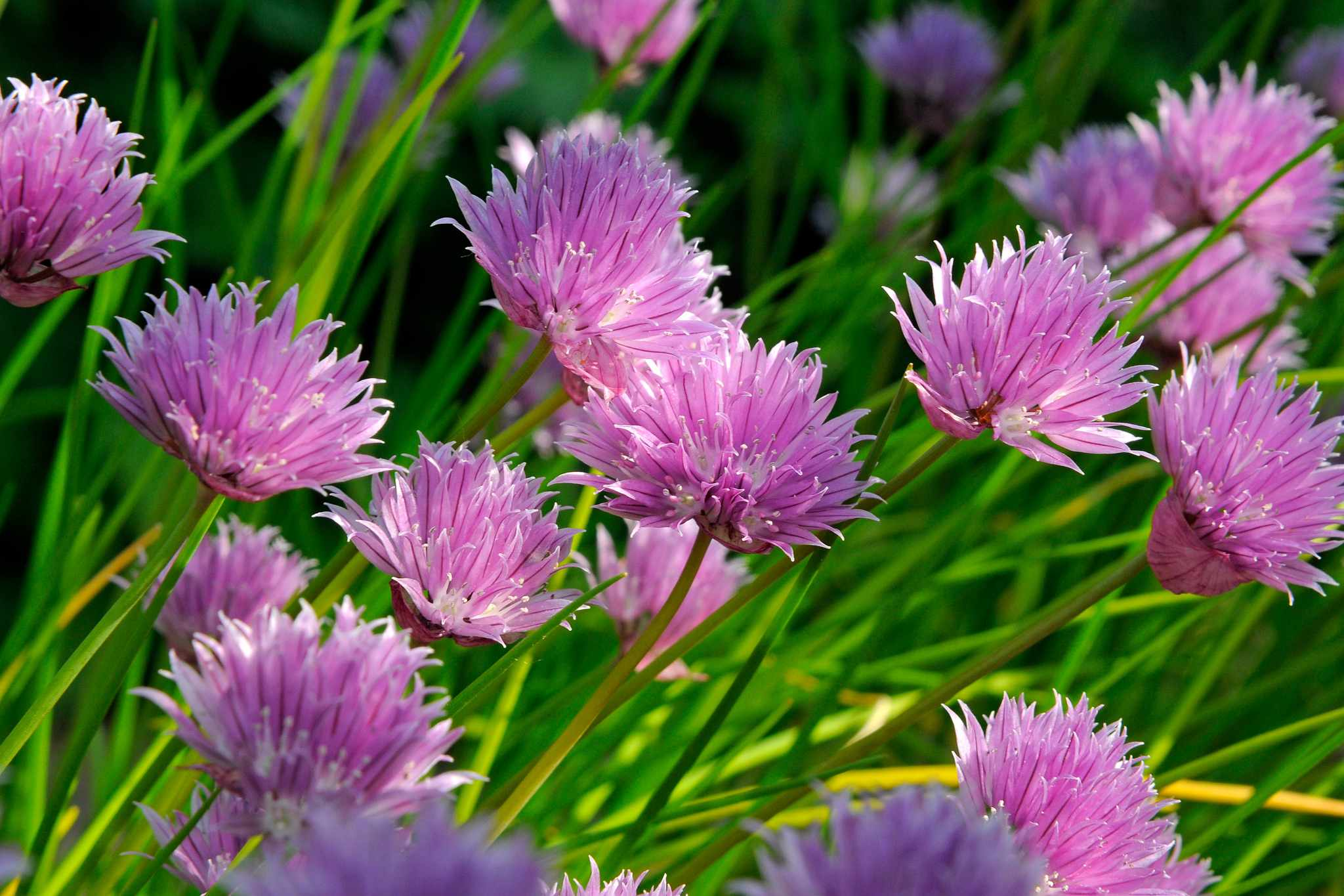 How to rejuvenate chives