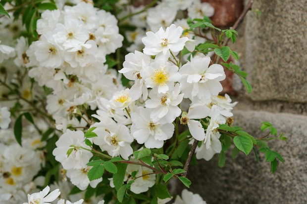 White flowers of Rosa 'Rambling Rector'