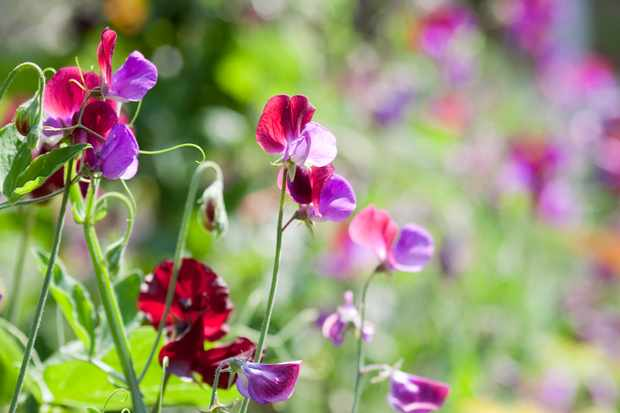 Sweet pea flowers