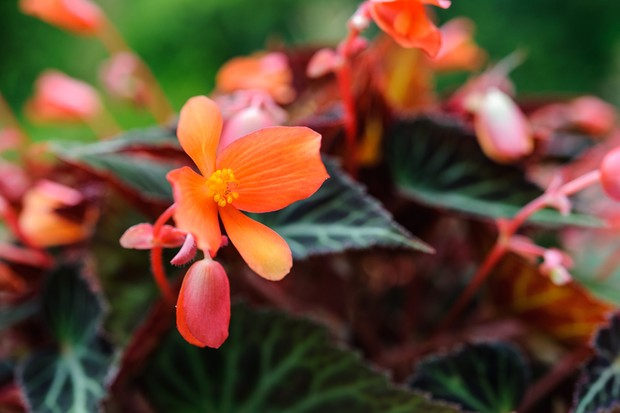 Orange blooms and bronze foliage of begonia 'Glowing Embers'