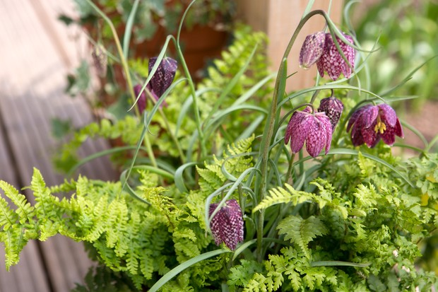 Snakes head fritillary growing in a container