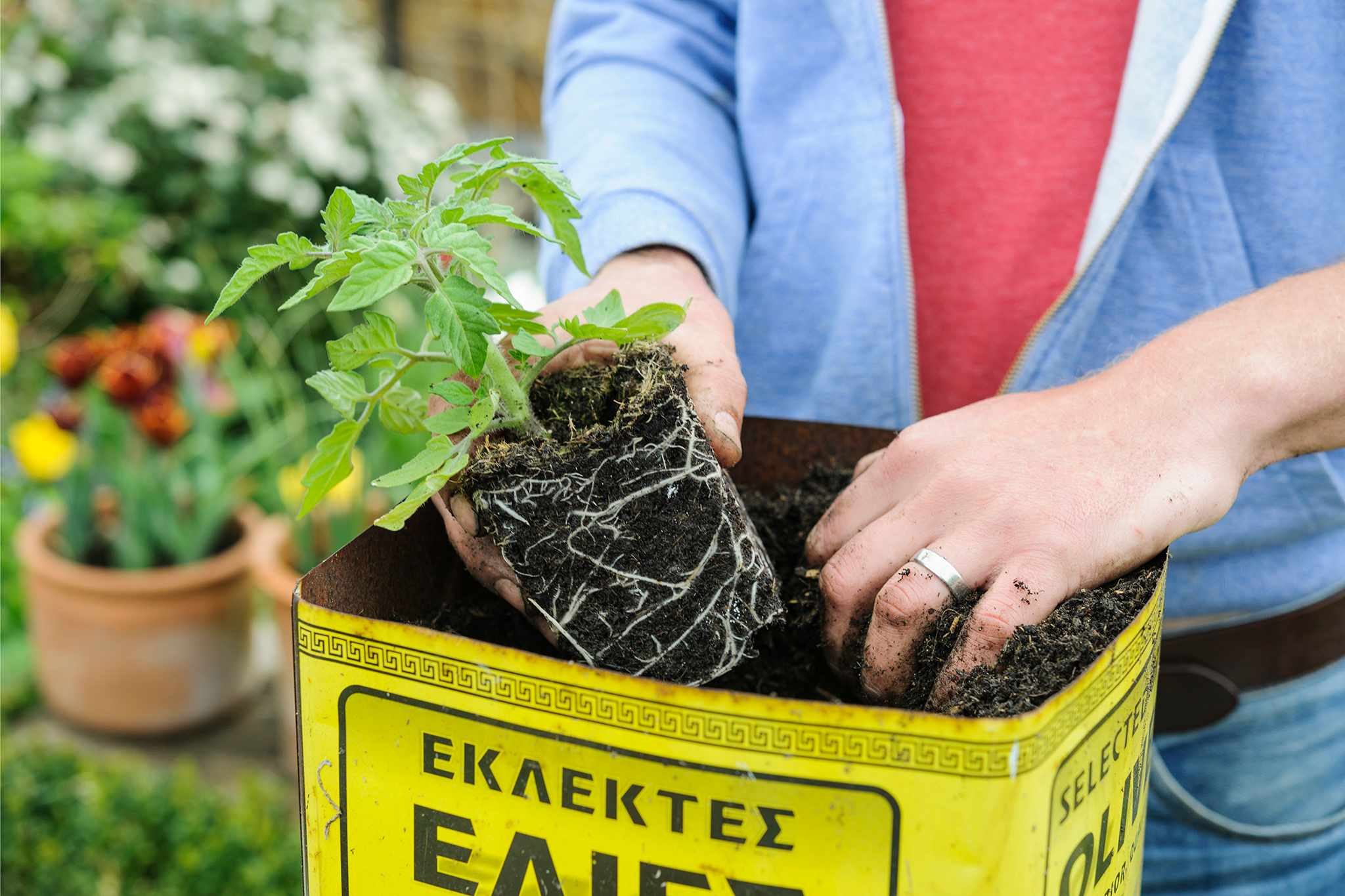 Planting tomatoes in a container