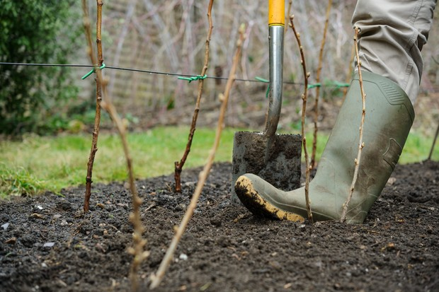 Firming the soil around newly planted bare-root blackcurrant canes