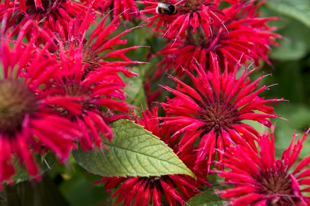 Bright red blooms of <em>Monarda</em> 'Cambridge Scarlet'