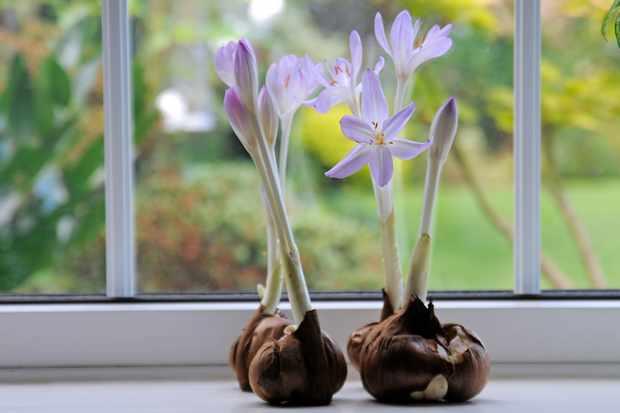 colchicum-speciosum-2