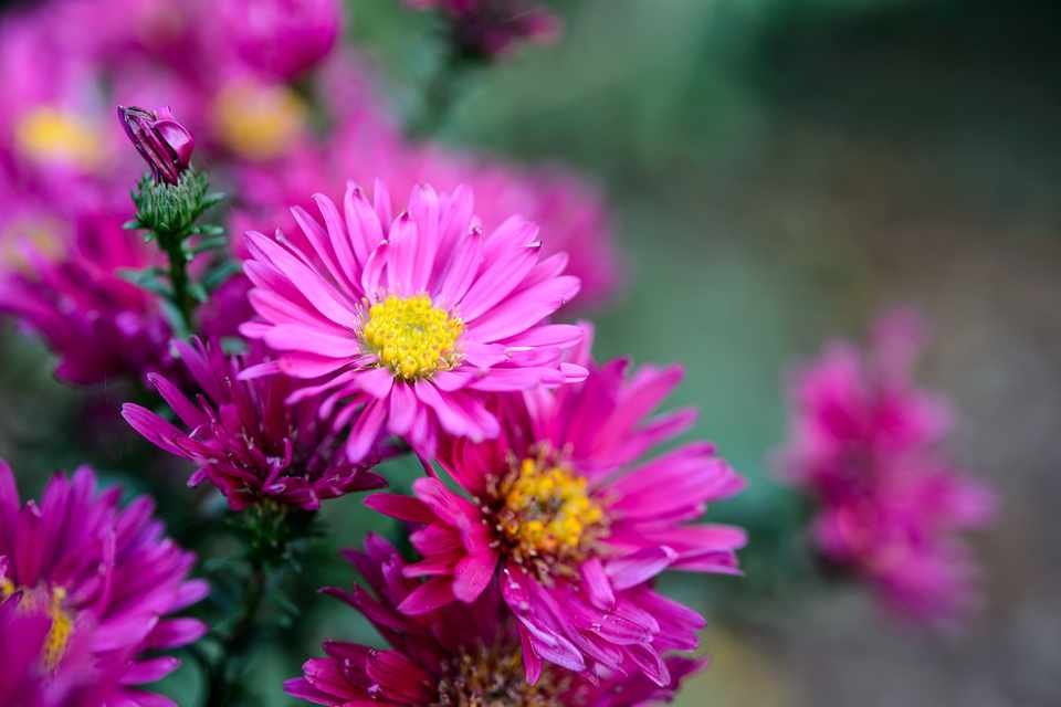 Hot pink flowers of aster 'Royal Ruby'