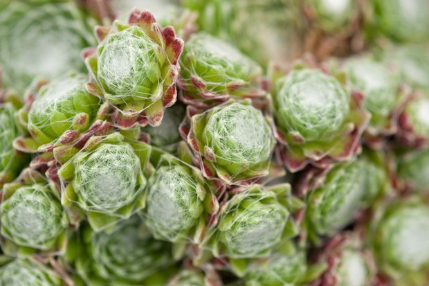 A cluster of white-hair-covered cobweb houseleek sempervivums