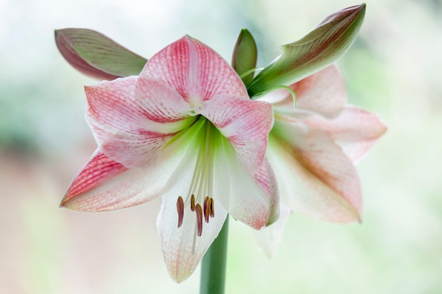 amaryllis-apple-blossom-3