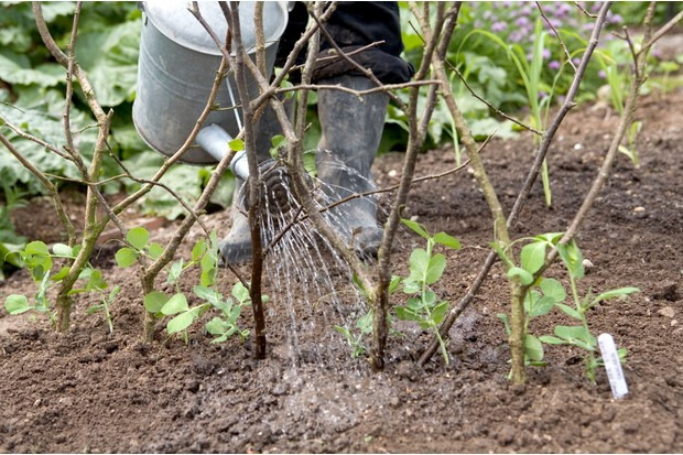 How to plant pea seeds - watering the peas