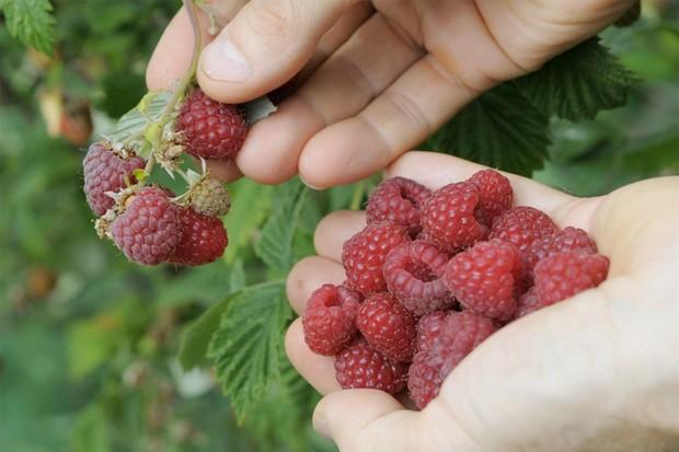 growing-raspberries-in-pots-2