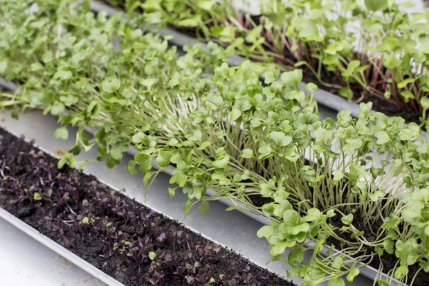 Salad seedlings growing in guttering