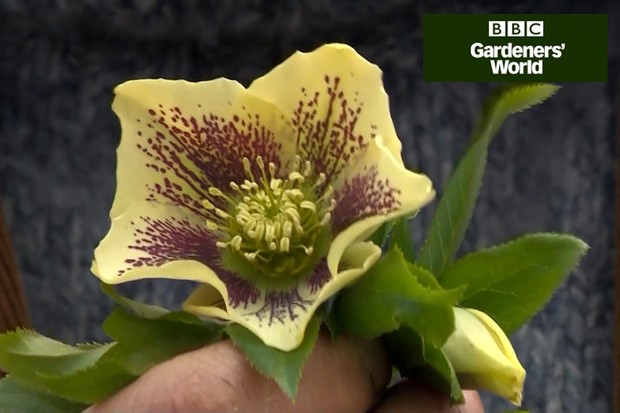 How to plant hellebores