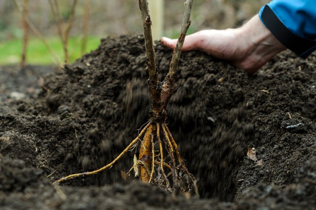 How to plant a shrub - placing the rootball in the hole