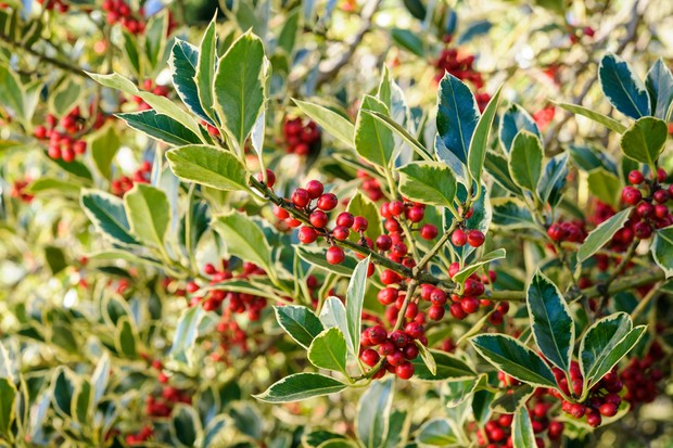 variegated-holly-8