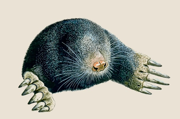 An illustration of a black-brown furred mole with hidden eyes, pointy snout and long-clawed paws