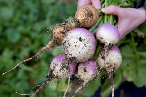 turnip-harvest-3