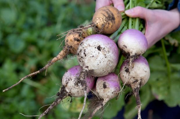 turnip-harvest-3