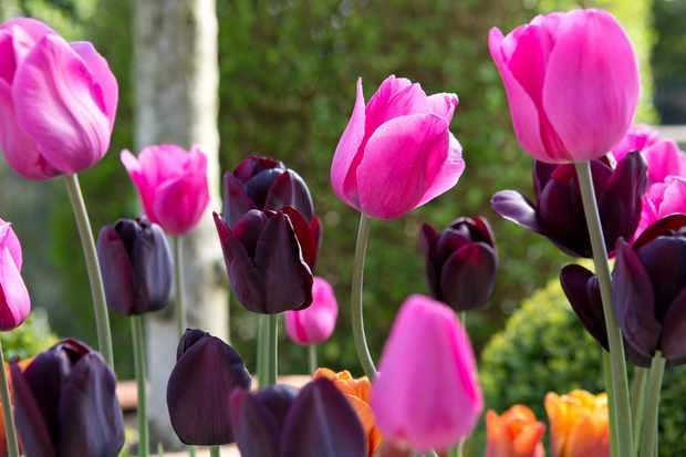 flowering-tulips-2
