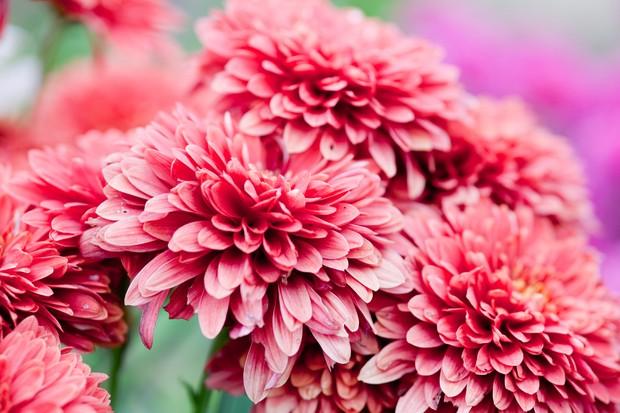 chrysanthemum-9