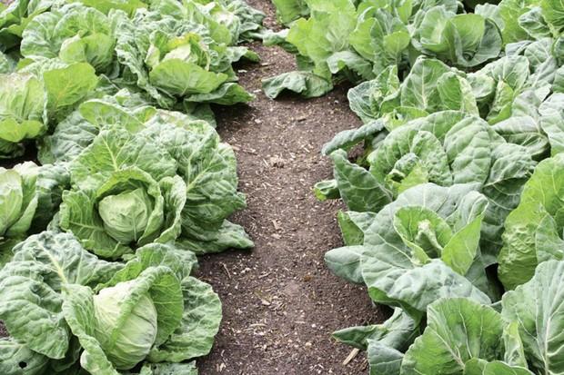 Mature spring cabbages