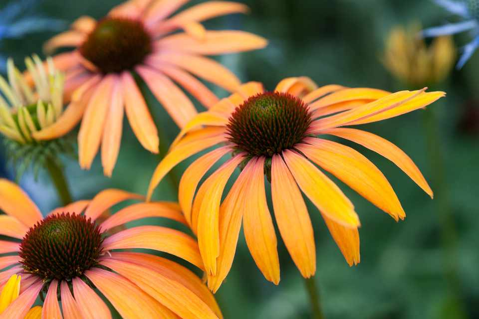 12 of the Best Echinaceas to Grow