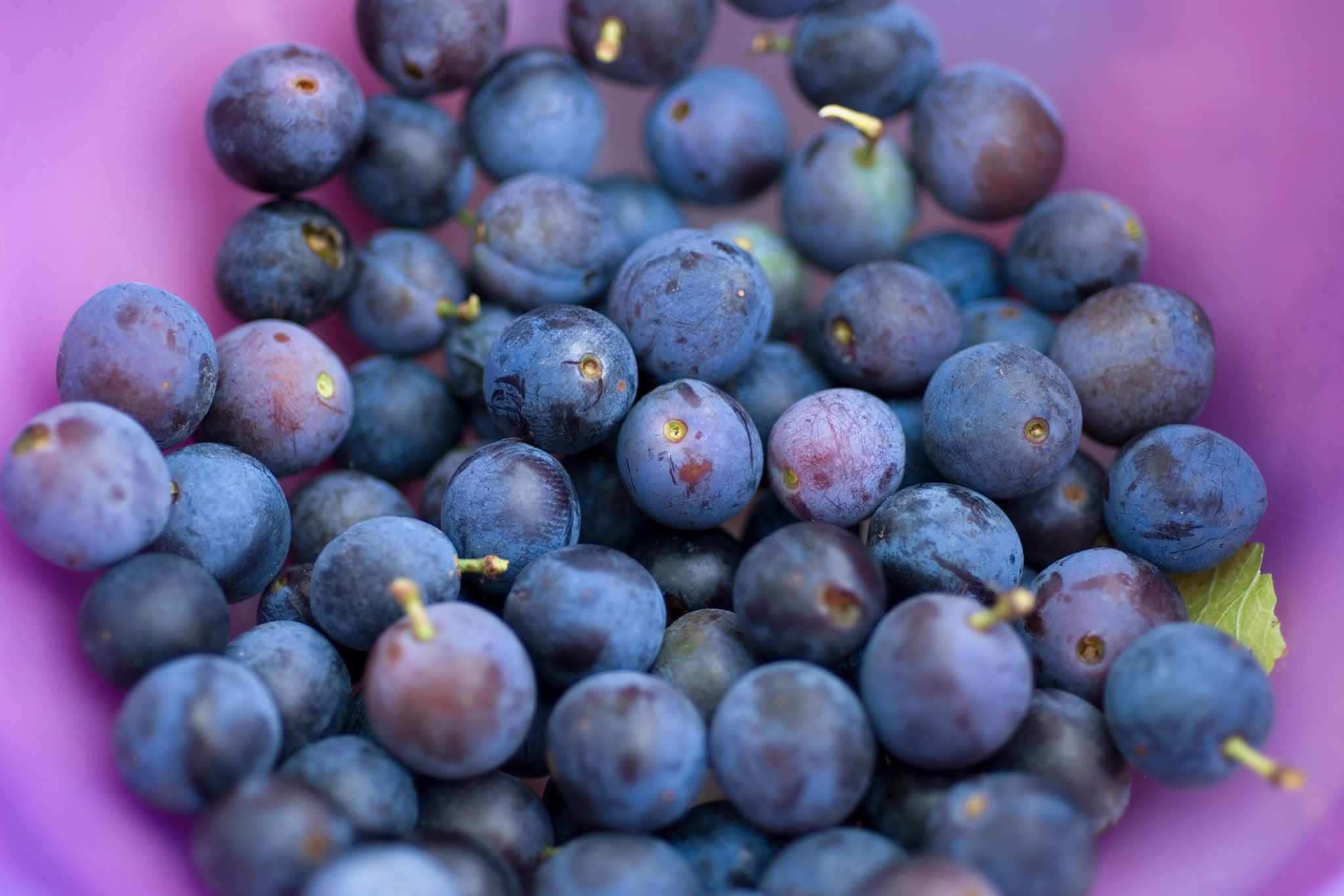 Blueberries – Grow Guide