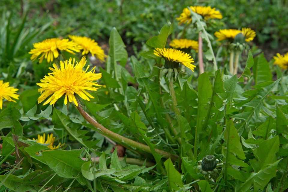 A yellow-flowering dandelion