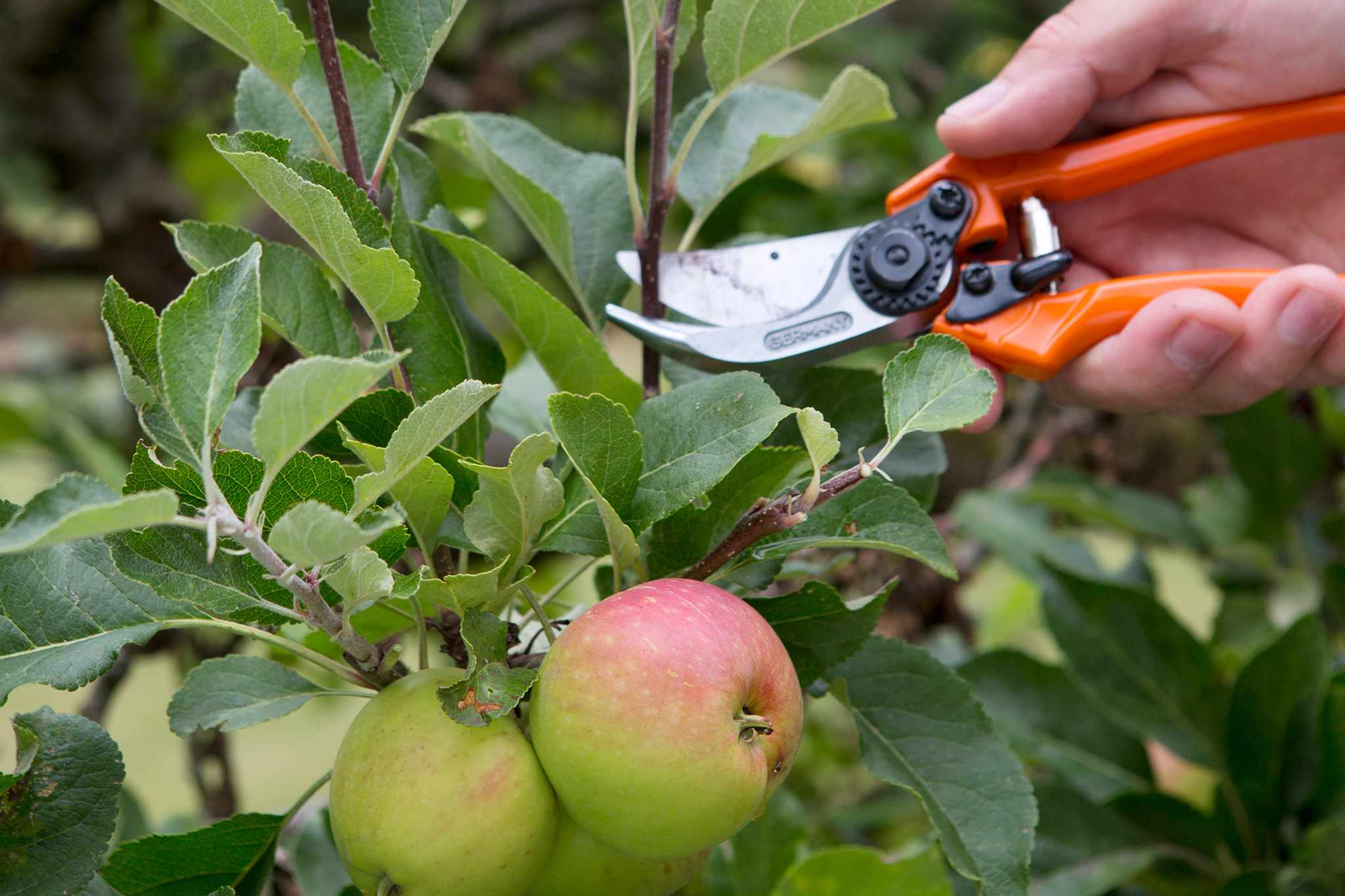 Pruning an apple tree in summer