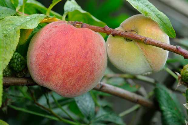 Peaches ripening on a tree