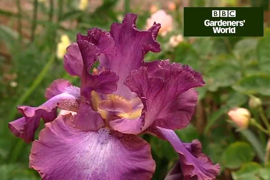 How to plant irises in borders