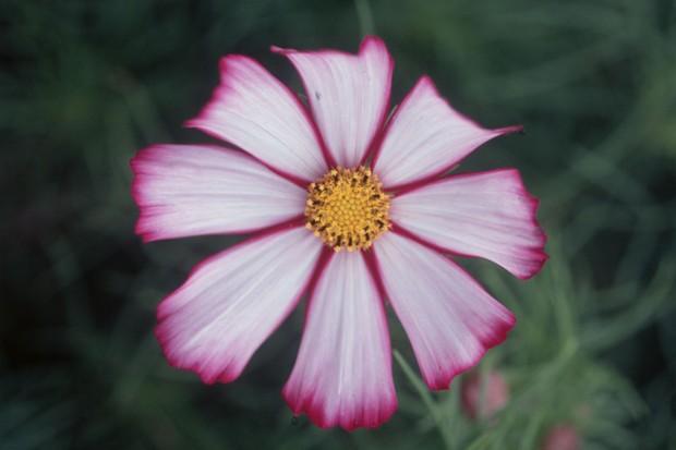 Cosmos: magenta-fringed white petals of 'Picotee'