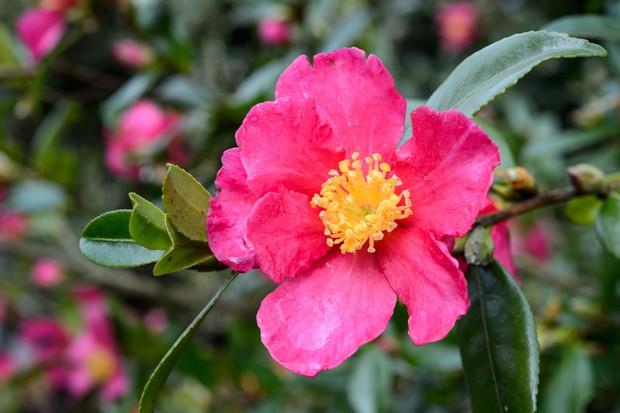 camellia-sasanqua-8