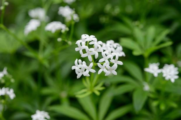 Tiny white sweet woodruff flowers