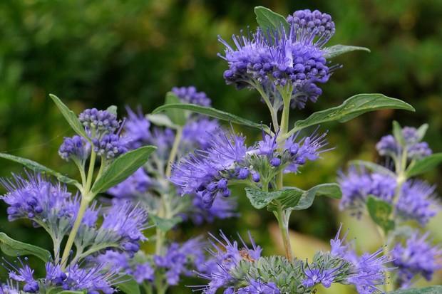 Blue blooms of caryopteris