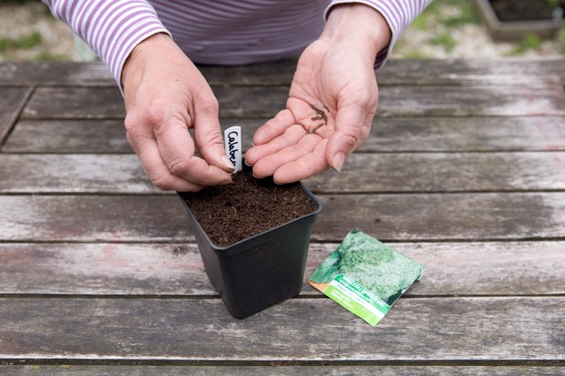 Sowing calabrese seed