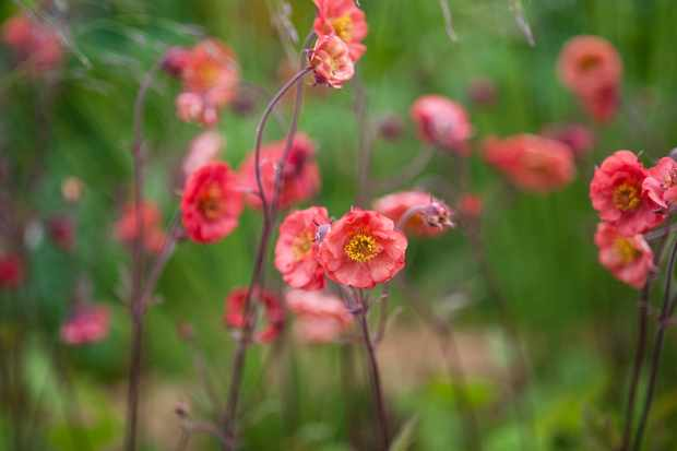 Pale red geum flowers