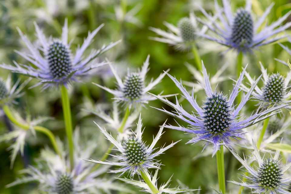 Spiky, blue sea holly flowers