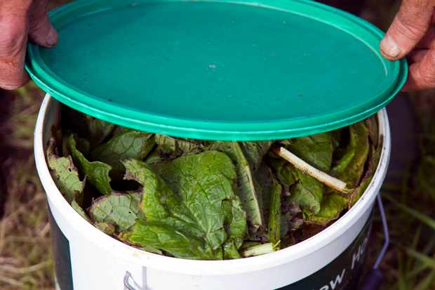 comfrey-foliage-in-container-2