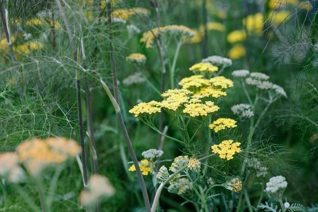 herb-fennel-2