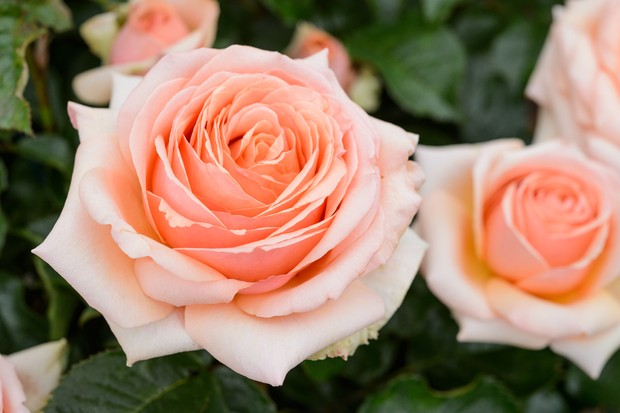 Peachy rose 'Lynda Bellingham'