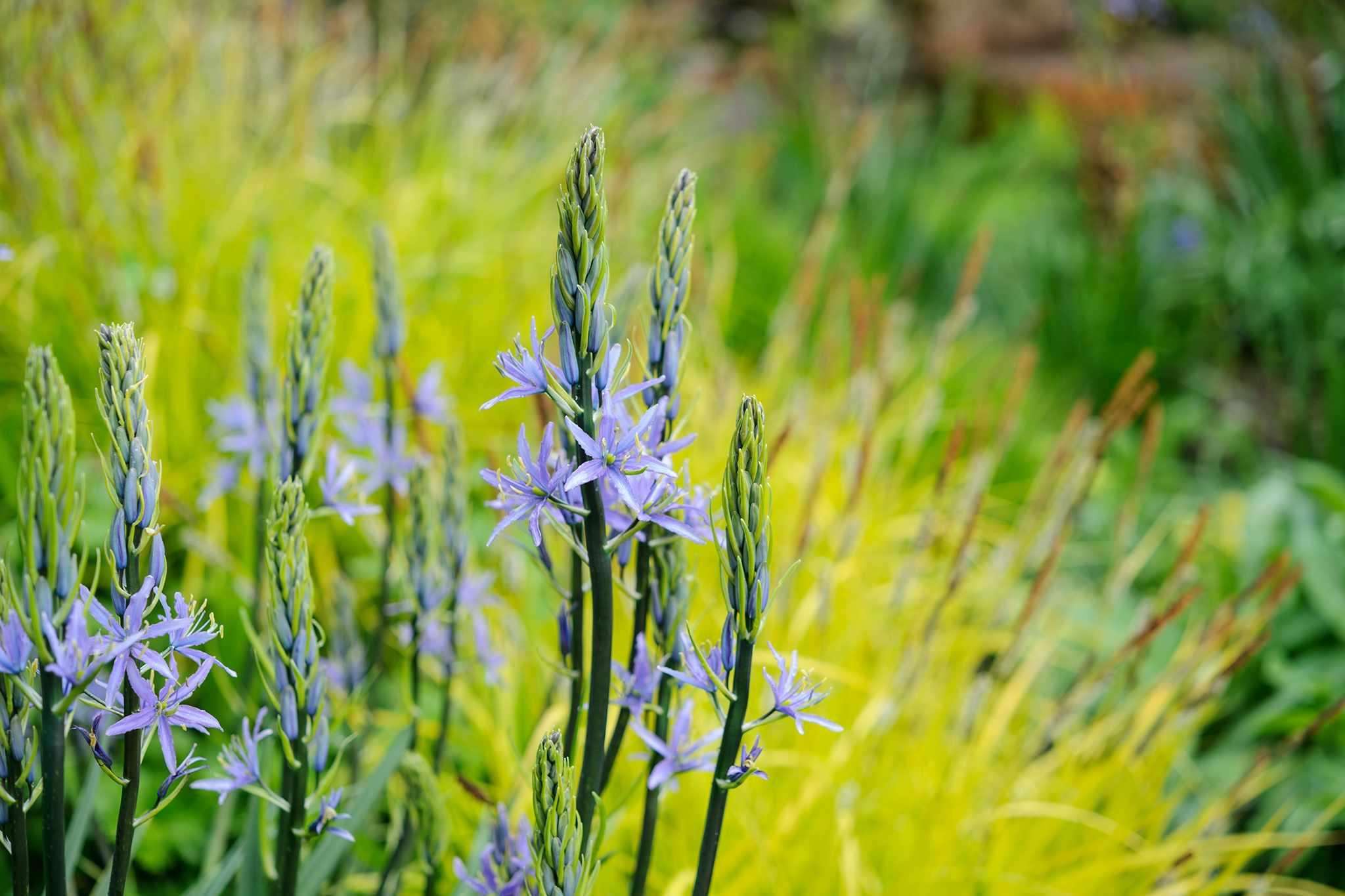 Blue camassia flowers