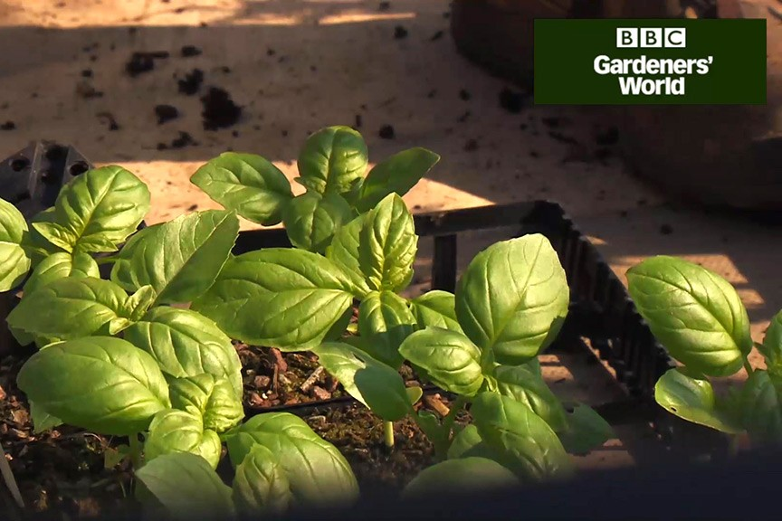 How to grow basil video