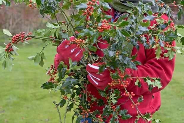 holly-ilex-aquifolium-2
